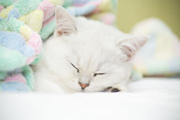 Beautiful cat breed Scottish straight chinchilla sleeping