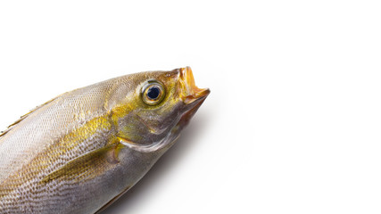 A fish jumping out with an open mouth from the corner of the screen, excellent for some fish phrase. Isaki (three line grunt) (Parapristipoma trilineatum)