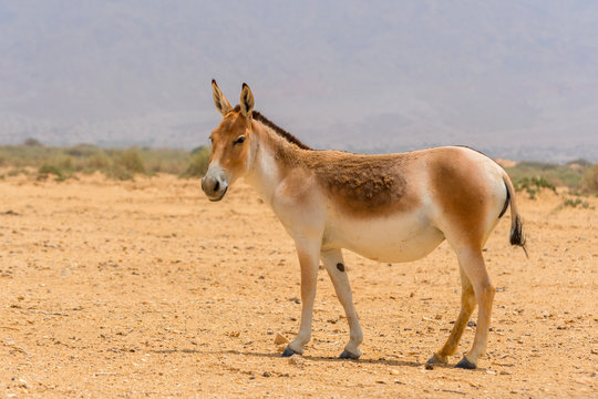 The onager, also known as hemione or Asiatic wild ass, species of the horse family native to Asia. Yotvata Hai Bar Nature Reserve, Israel.