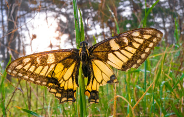big yellow butterfly