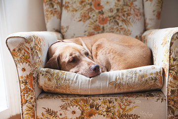 close up of an old dog sleeping on comfortable chair