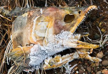 Frozen salmon carcass