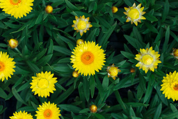 Top view of yellow strawflowers