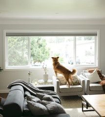 Dog looking out living room window