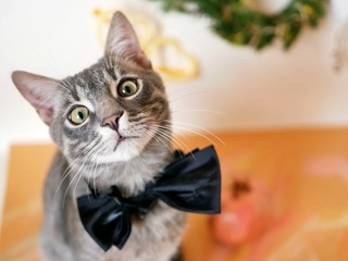 Young gray striped kitten with an expressive look on the neck a black bow, on a light background, Christmas decor. Portrait of a domestic cat, winter season
