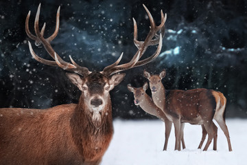 Wall Mural - Noble deer male with deer female in a snowy forest. Natural winter image. Winter wonderland.