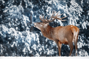 Fototapete - Lonely noble red deer male in winter snow forest. Winter christmas wonderland. Artistic winter image.