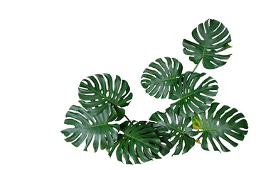 Dark green leaves of monstera or split-leaf philodendron (Monstera deliciosa) the tropical foliage plant bush nature frame border isolated on white background, clipping path included.