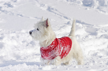 West Highland White Terrier standing sideways in the snow with a pullover on