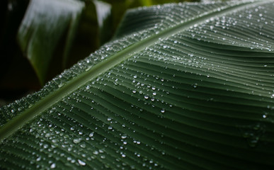 Abstract picture of banana leaf with droplets