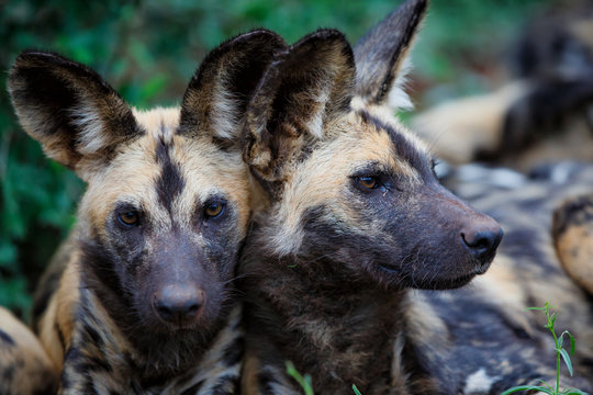 Wild dogs portrait  in Zimanga Game Reserve in South Africa