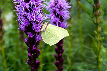 Common Brimstone (Gonepteryx rhamni) in a natural habitat