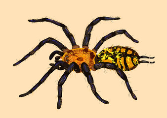 Bright colorful realistic blue and yellow spider Dipluridae. illustration for terrarium shop web design. Big pet insect, warning colouring. tropical animal species, Indian and american jungle fauna.