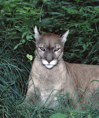 North American Cougar (Puma Concolor Couguar)