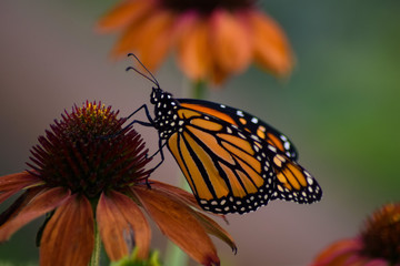 Male Monarch on Coneflower