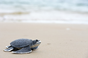 Foto op Plexiglas Schildpad turtle baby On the beach Copy space
