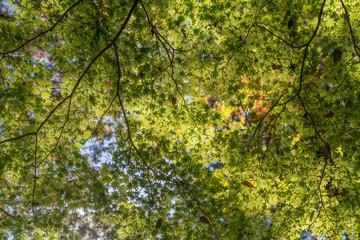 紅葉していないもモミジ / 木 / 森のイメージ