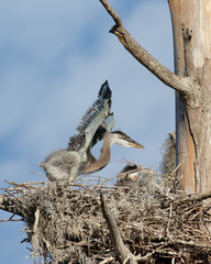 Great Blue Heron Chick Flapping