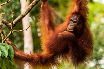 Juvenile Orangutan at Semenggoh in Sarawak, Malaysian Borneo Fotomurales