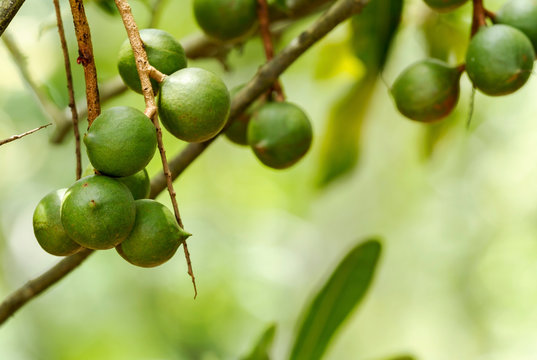 Group of macadamia nuts hanging on its tree in the plantation