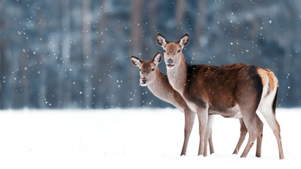 Fototapete - Group of beautiful female graceful deer on the background of a snowy winter forest. Noble deer (Cervus elaphus). Artistic Christmas winter image. Winter wonderland.