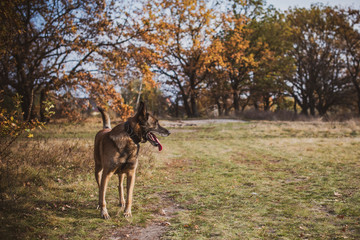 Malinois Dog Resting Outdoors In autumn  Meadow. Belgian Shepherd Dog With bright Eyes