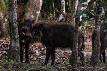 Wild boar in forest Borneo