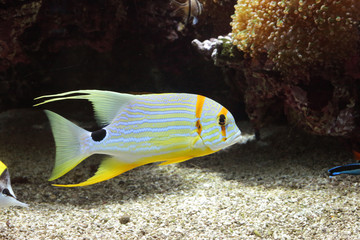 Blue lined fish