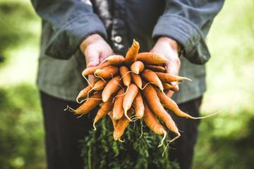 Fresh carrots in hands Wall mural