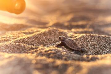 Freshly hatched sea turtle on the Çıralı beach Wall mural