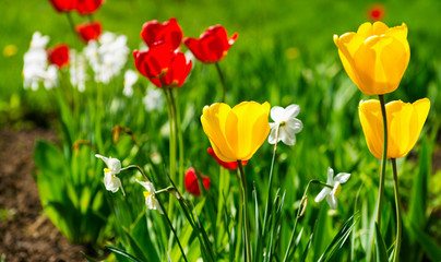 Wall Mural - Yellow and red tulips.