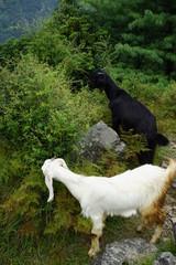 white goat and black goat
