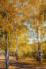 Gold colored birch trees in fall in Mauerpark, Berlin