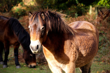 Wild Devon Horse