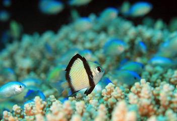 Two-stripe Damsel (Dascyllus reticulatus) on a Coral. Moalboal, Philippines