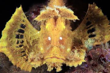 Yellow Weedy Scorpionfish (Rhinopias frondosa) from Front. Anilao, Philippines
