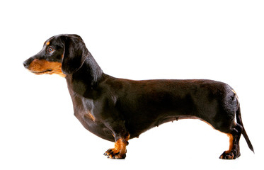 Miniature Dachshund puppy in show pose, side view on white background Wall mural