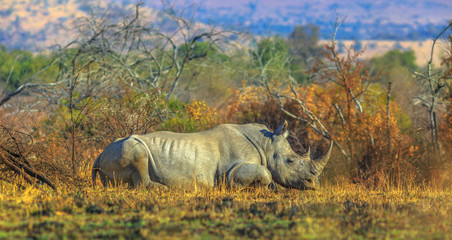 White Rhinocero, Ceratotherium simum, also called camouflage rhinoceros resting in bushland natural habitat, Pilanesberg National Park, South Africa. Side view. The Rhino in one of the Big Five.