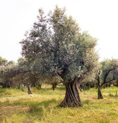 One olive tree in the olive field.