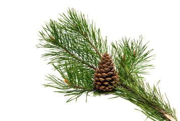 pine branch with cone isolated
