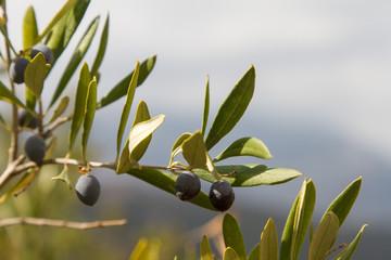 Oliven vor dem Dikti-Gebirge, Kreta