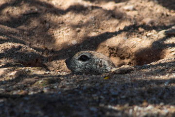 A Round Tail Ground Squirrel popping his head out of his burrow and checking to see if it is safe to come out and forage for food. Pima County, Arizona. Spring of 2018.