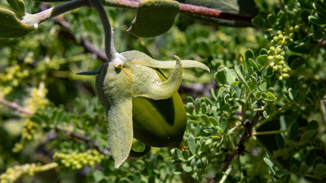 Nearly ripe, a green Jojoba seed or fruit in the Sonoran Desert with Cat's Claw Acacia in the background. Pima County, Tucson, Arizona. Spring of 2018.