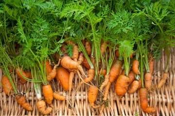 Bunch of freshly dug carrots crooked and stunted in growth due to poor clay and stony soil