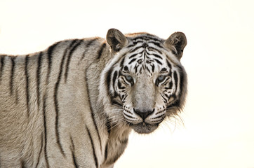 Foto op Canvas Tijger White Tiger isolated on White Background