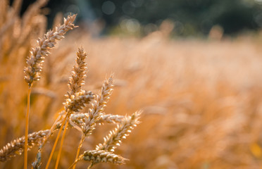 Wonderful rural landscape. Golden ears of wheat with a lot of copy space. small depth of field. rural landscape. agricultural rich harvest, concept. Soft focus. majestic nature scenery