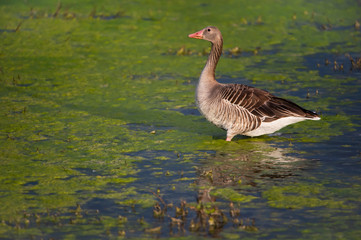 greylag goose standing in a swampy lake - national park Neusiedlersee Seewinkel Burgenland Austria