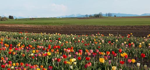 Fototapete - bunte Tulpen auf dem Feld, bayerische Landschaft mit Alpenblick