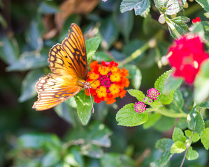 Mexican Silverspot Butterfly feeding on brightly colored flowers in a garden in Mexico.
