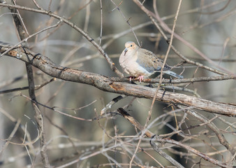 Mourning dove feeding in a boreal forest Quebec, Canada.